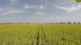 Aerial 4K Sunflower Field viewed from air in the morning sun - low altitude, flying forward along row, then turning to the right 9 stock footage