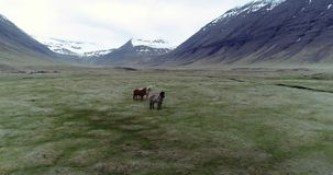 Flying over Icelandic horses in a valley. Aerial through Lambadalur valley and horse farm near Thingeyri in the Westfjords, Iceland stock video