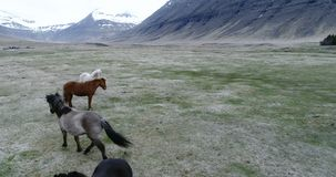 Flying over Icelandic horses in a valley. Aerial through Lambadalur valley and horse farm near Thingeyri in the Westfjords, Iceland stock footage