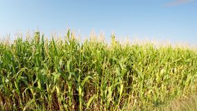 Aerial landscape of corn crops slowly advancing to the right, side view of the field, moving above the country road.Recorded in 4k stock footage