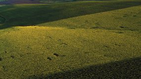 Drone aerial view with green sunflower field royalty free stock photos