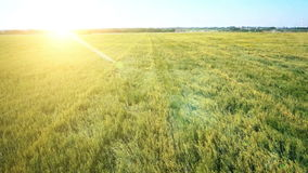 AERIAL: Low flight over green and yellow wheat field stock footage