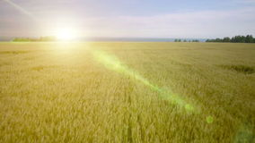AERIAL: Low flight over green and yellow wheat field stock video footage