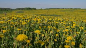 Movement camera through yellow blooming field of millions dandelion flowers stock footage