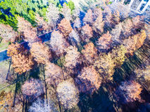 Aerial Over Winter Trees brown and dropping their leaves rows and rows Royalty Free Stock Images