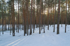 Aerial photo of sunset in winter pine forest. Drone photo Royalty Free Stock Photo