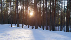 Aerial photo of sunset in winter pine forest. Drone photo Royalty Free Stock Image