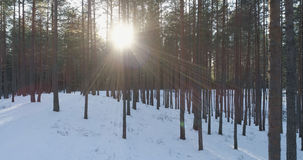 Aerial photo of sunset in winter pine forest. 4k drone photo Stock Image
