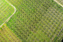 Aerial photographs blooming peach trees in an orchard.  Royalty Free Stock Photography