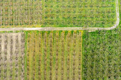 Aerial photographs blooming peach trees in an orchard.  Stock Photos