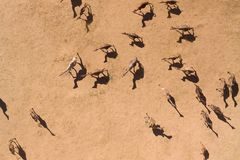 Aerial Photographs Of Camels In The Desert Royalty Free Stock Photo
