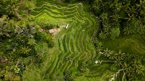 Aerial photography in a rice field of bali island royalty free stock photo