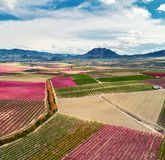 Aerial photography of a blossoming fruit trees. Orchards in bloom. Aerial photography of a blossoming fruit trees in Cieza in the Murcia region. Peach, plum and Stock Photos