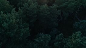 Aerial photography of a pine forest at sunset. Flight over the trees in the coniferous forest towards the sun. Aerial photography of a pine forest at sunset. A stock footage
