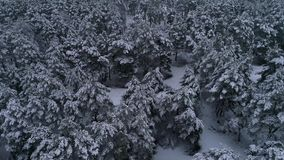 Aerial photography of the winter snow coniferous Christmas forest. Winter forest at sunset stock footage