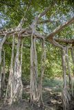 Aerial Prop Roots of Banyan Tree. Thick branches of this leafy banyan tree, a type of fig tree that is an epiphyte and the national tree of India, sends down stock image