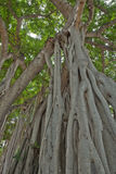 Aerial Prop Roots of Banyan Trees, Honolulu Royalty Free Stock Photos