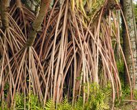 Aerial prop roots of pandanus tree also known as pandan or pine or palm stock photo