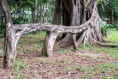 Aerial root of weeping fig Ficus benjamina like a bench in garden. Aerial root of weeping fig Ficus benjamina like a bench in garden for background royalty free stock photo