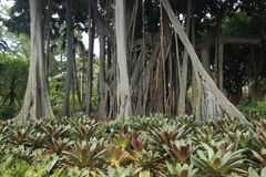 Australian banyan tree. Aerial roots of Australian banyan tree Royalty Free Stock Photography