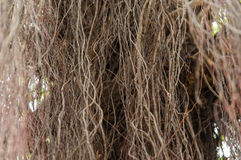 Aerial Roots Stock Photography