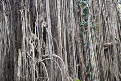 Aerial roots of a big ficus tree in the jungle Royalty Free Stock Photography