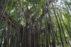 Huge banyan tree - Ficus benghalensis - in Jamaica royalty free stock image