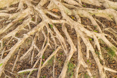 Aerial roots Stock Photo