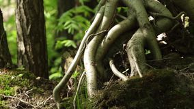Aerial roots of the tree stock footage