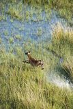 Aerial of running deer. Royalty Free Stock Photography