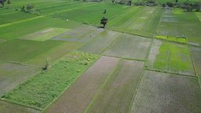 Aerial scenery footage of paddy fields. Beautiful aerial scenery footage of paddy fields from a drone flying spinning around the rice fields in Yogyakarta stock footage