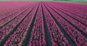 Aerial shoot: Stack of footage, Tulip fields, Amsterdam, Netherlands. Aerial shoot: Stack of footage, Tulip fields, Amsterdam Netherlands 4k stock footage