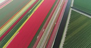 Aerial shoot: Stack of footage, Tulip fields, Amsterdam, Netherlands. Aerial shoot: Stack of footage, Tulip fields, Amsterdam Netherlands 4k stock video