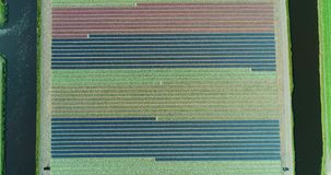 Aerial shoot: Stack of footage, Tulip fields, Amsterdam, Netherlands. Aerial shoot: Stack of footage, Tulip fields, Amsterdam Netherlands 4k stock video footage