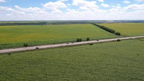 View from a height on the field through a field of sunflowers, cars are driving along the road. Aerial shooting, a drone flies through a field of sunflowers and stock video