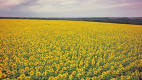 Aerial shooting field of sunflowers in summer.Wonderful rural la. Ndscape of in sunny day. Drone view Royalty Free Stock Image