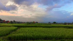 Aerial shot of a beautiful rice fields during sundet on the Bali island stock video footage