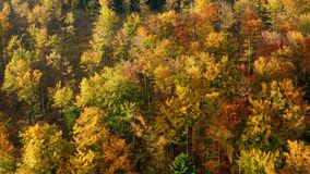 Aerial Shot Of beautifully colored forests in yellow color