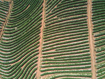 Aerial shot with from a drone. Flying over strawberry plantation Royalty Free Stock Image