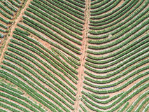Aerial shot with from a drone. Flying over strawberry plantation Royalty Free Stock Photo