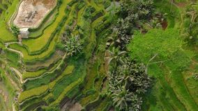 Aerial shot of the famous Tegalalang Rice Terraces in Ubud village on the Bali island stock video