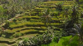 Aerial shot of the famous Tegalalang Rice Terraces in Ubud village on the Bali island stock footage