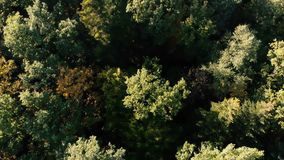 Aerial shot of the gorgeous green forest in the Carpathian Mountains in summer. Cheerful bird`s eye view of a mixed leafy and fir forest with a lot of green stock video