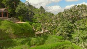 Aerial shot of a happy family tourists visiting famous Tegalalang Rice Terraces in Ubud village on the Bali island.  stock footage