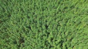Aerial shot of hippie girl jumping in cultivated marijuana CBD hemp plants field