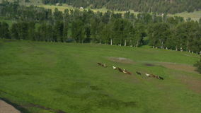 Aerial shot of horses running in green valley stock video footage