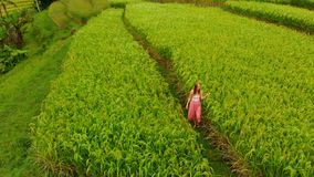 Aerial shot of Jatiluwih Green Land village. Stunning rice terraces on the Bali island. Young woman walking along rice. Field stock footage