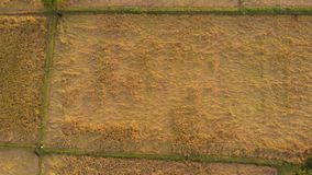 Aerial shot of a paddy field ready for harvest, being inspected by the farmer in a rural village in India.top view of a Paddy fiel stock video footage