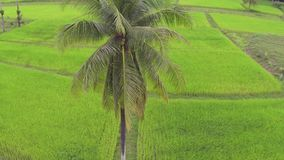 Aerial shot of a palm tree against bright green rice fields in Thailand stock video