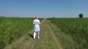 Aerial shot of scientist walking by cultivated marijuana fields observing CBD hemp plants